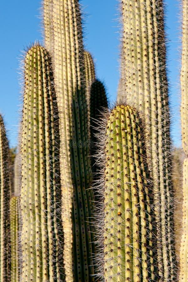 Détails de cactus de Suguaro images libres de droits