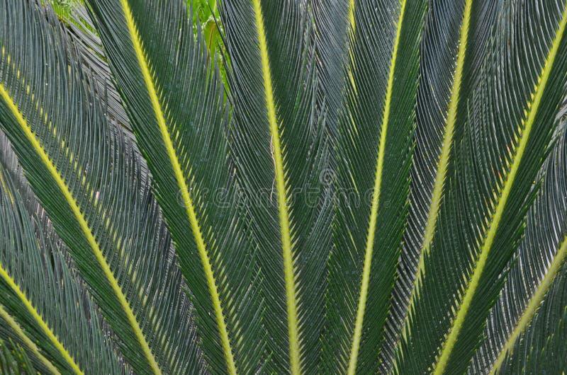 Détails de modèle vert-foncé des feuilles de cycad photos libres de droits