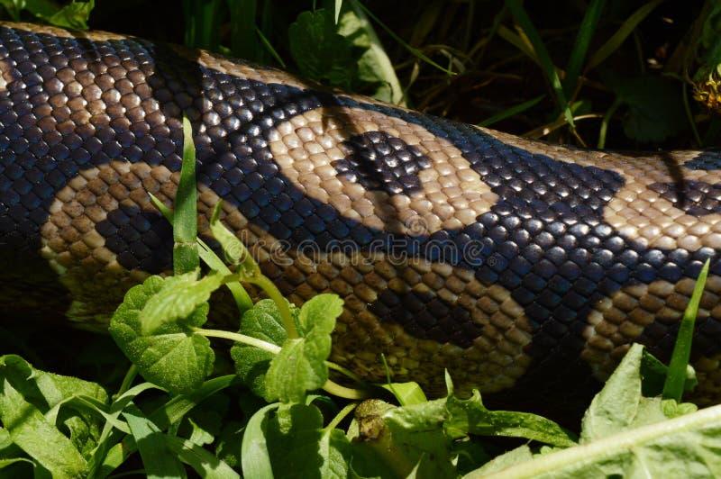Détails de python de boule photographie stock libre de droits