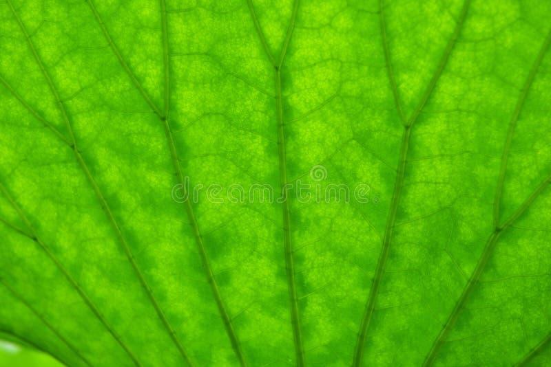 Détails de texture d'une feuille de lotus photo stock