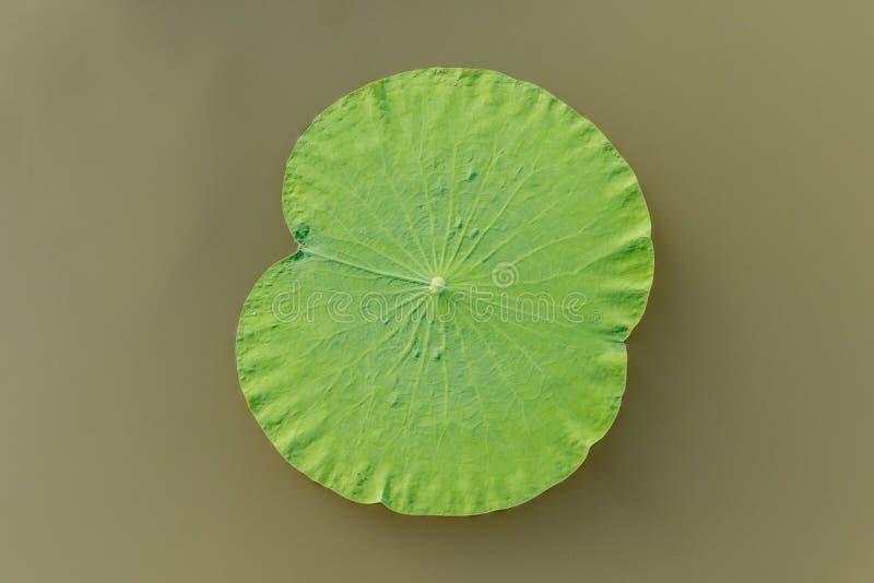 Détails des feuilles vertes de lotus au-dessus de l'eau image libre de droits