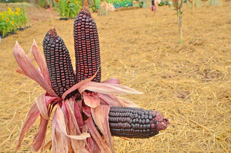 Détails des graines violettes de maïs avec les coquilles sèches photo stock