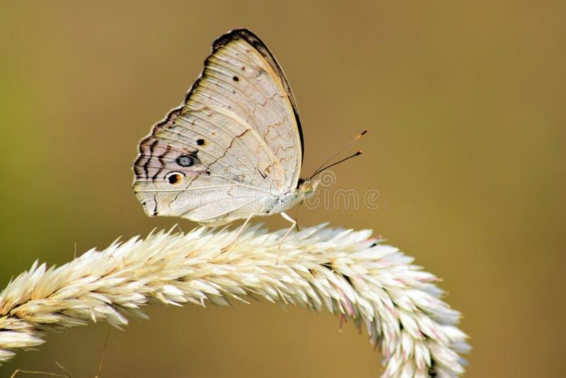 D?tails en gros plan des papillons blancs dans le sauvage avec un fond trouble Papillons sur les fleurs photos stock