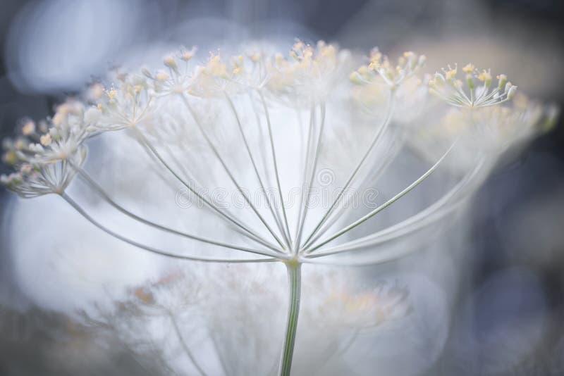 Détails fleurissants d'aneth image stock