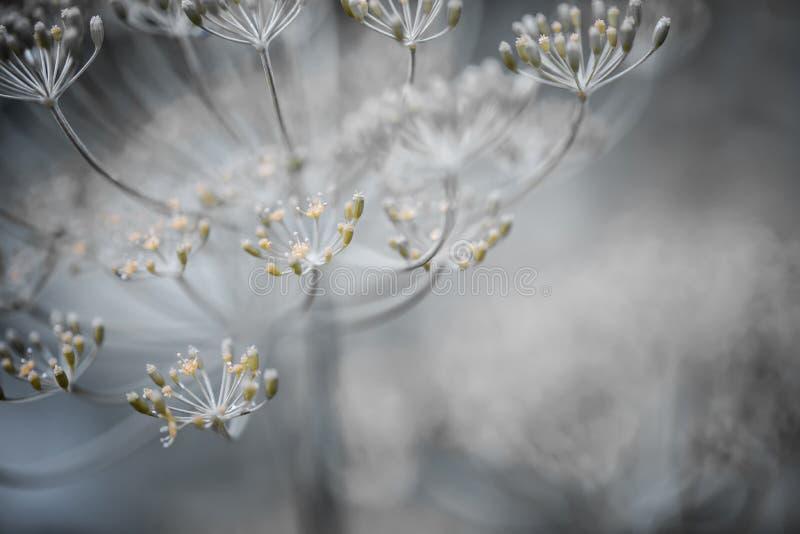 Détails fleurissants d'aneth photo stock