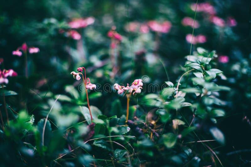 Détails sauvages de forêt, petites fleurs sauvages roses, beau fond abstrait naturel et texture photographie stock libre de droits