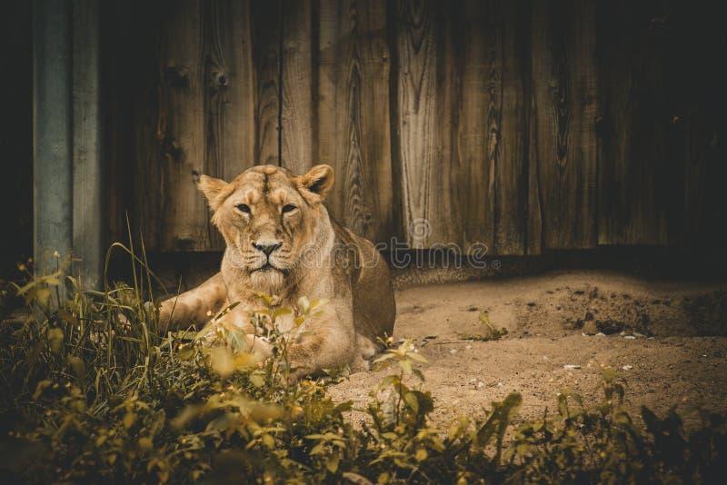 Détendez la lionne photo libre de droits