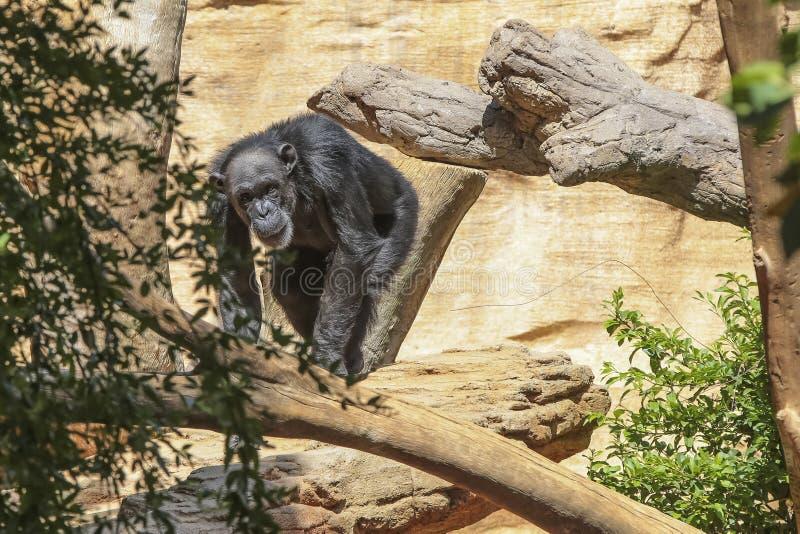 Détendez le gorille photo stock