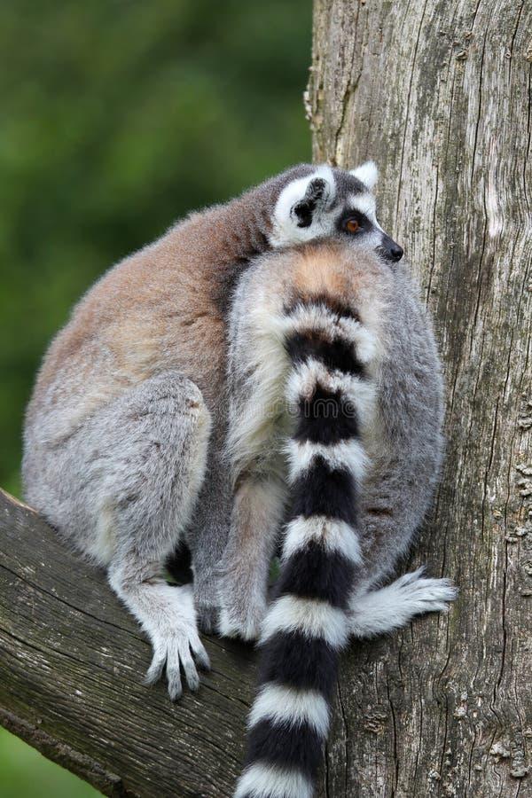 Détente de deux lemurs suivie par boucle image stock