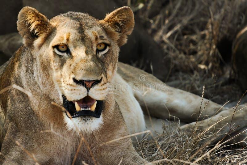 Détente de lionne photo stock