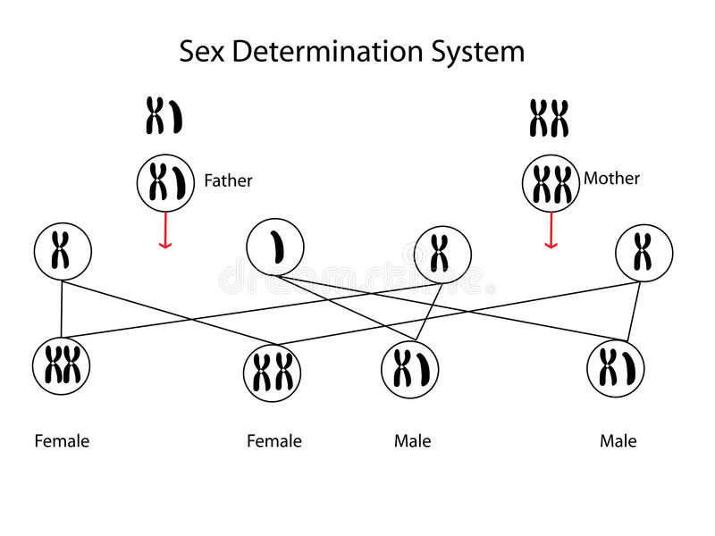 Détermination de sexe illustration stock