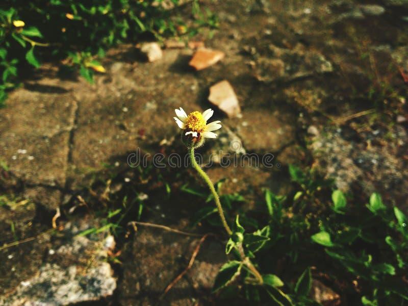 Développement d'une fleur image stock