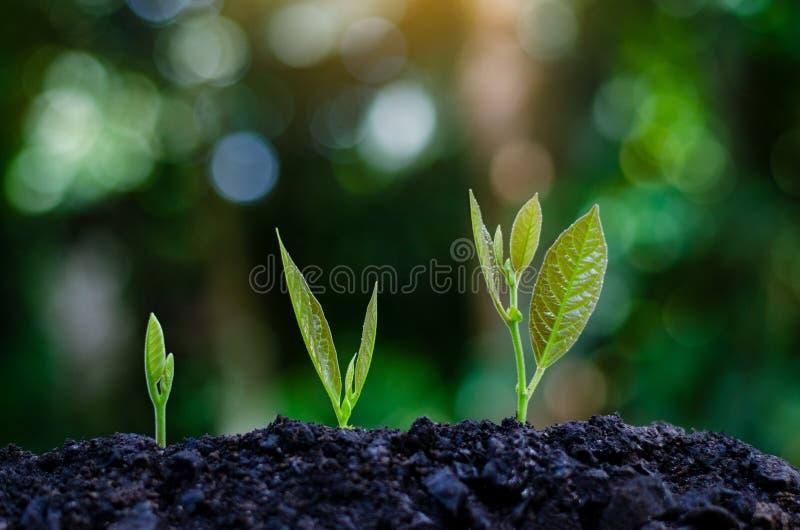 Développement de croissance de jeune plante plantant la jeune usine de jeunes plantes dans la lumière de matin sur le fond de nat photographie stock