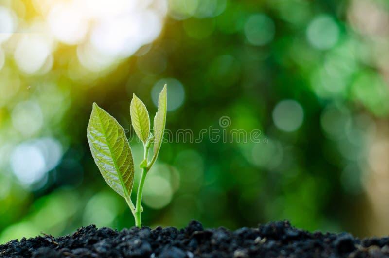 Développement de croissance de jeune plante plantant la jeune usine de jeunes plantes dans la lumière de matin sur le fond de nat photo libre de droits