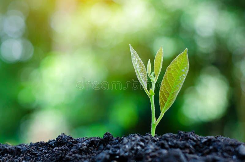 Développement de croissance de jeune plante plantant la jeune usine de jeunes plantes dans la lumière de matin sur le fond de nat photos libres de droits