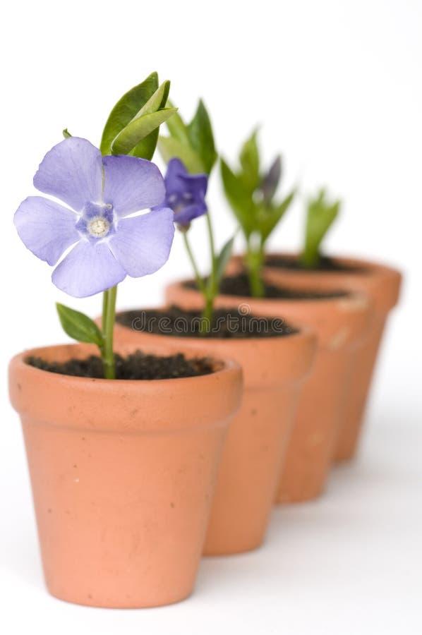 Développement de fleur photographie stock libre de droits