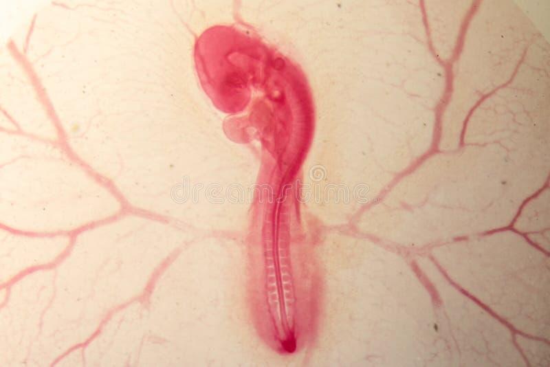 Développement du poulet d'embryon photo libre de droits