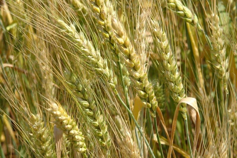 Día asoleado Espigas de trigo amarillas Campo de la cebada imágenes de archivo libres de regalías