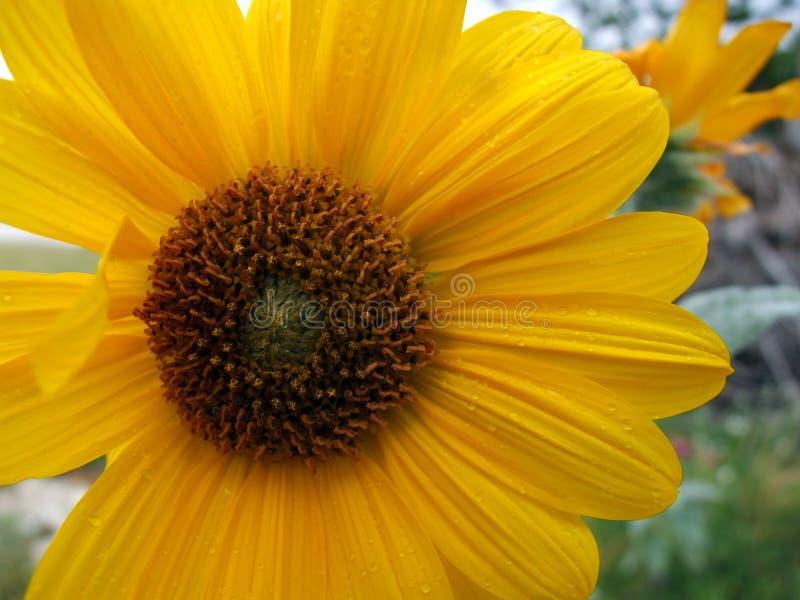 Día asoleado hermoso de los girasoles imágenes de archivo libres de regalías