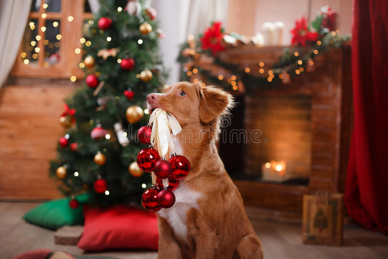 Día de fiesta de Nova Scotia Duck Tolling Retriever del perro, la Navidad imagen de archivo