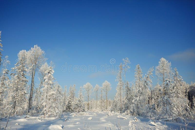 Día de invierno en bosque del abeto imagen de archivo