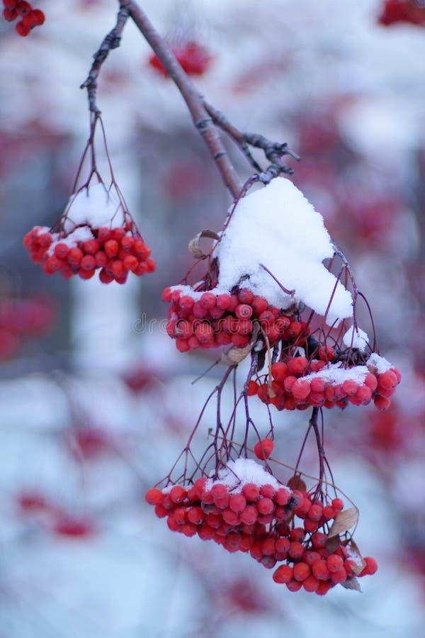 Día de la fruta del serbal del invierno imagen de archivo libre de regalías