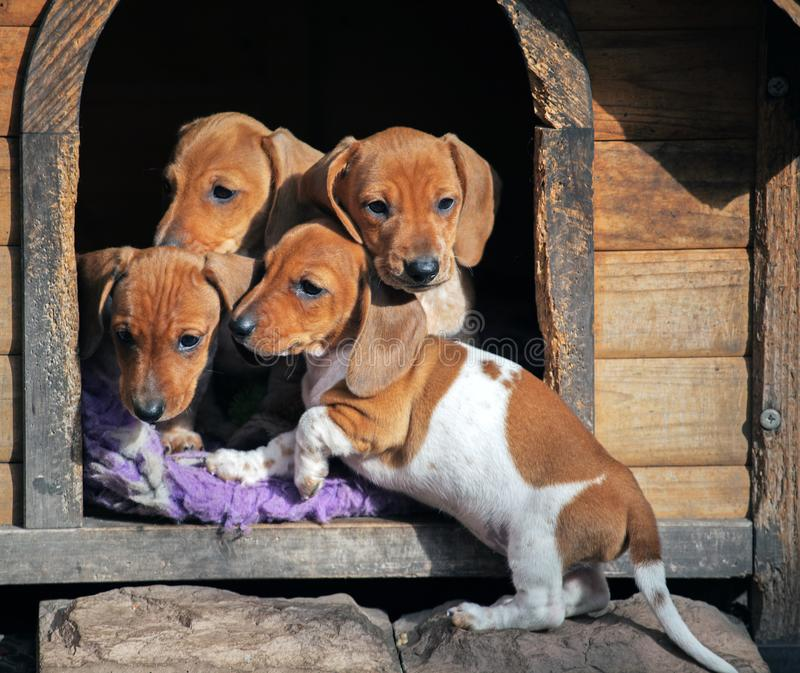 día de los perritos del perro basset de la Perro-perrera imagenes de archivo