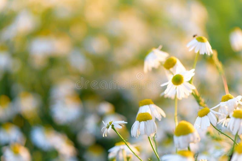 D?a de verano en un prado de las flores salvajes de la margarita foto de archivo