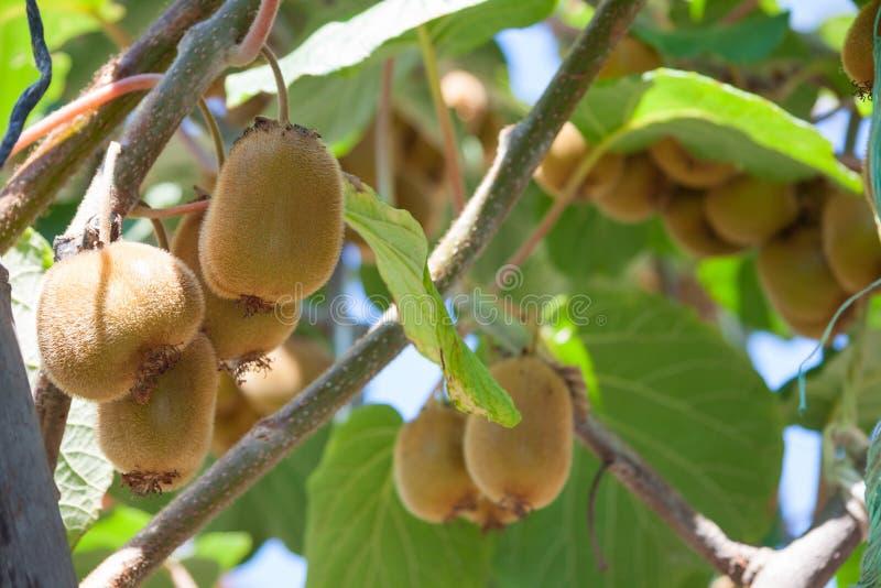 Día de verano sano fresco del kiwi de la fruta fotos de archivo