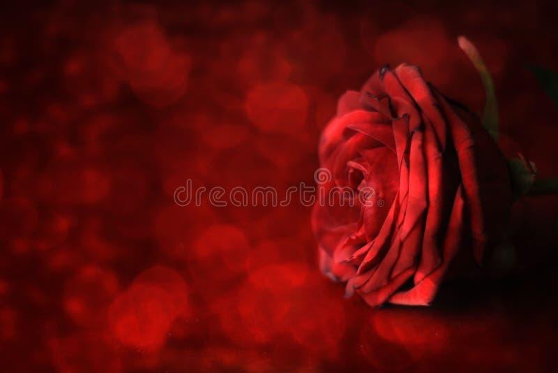 Día del `s de la tarjeta del día de San Valentín Rosa roja en fondo defocused foto de archivo libre de regalías