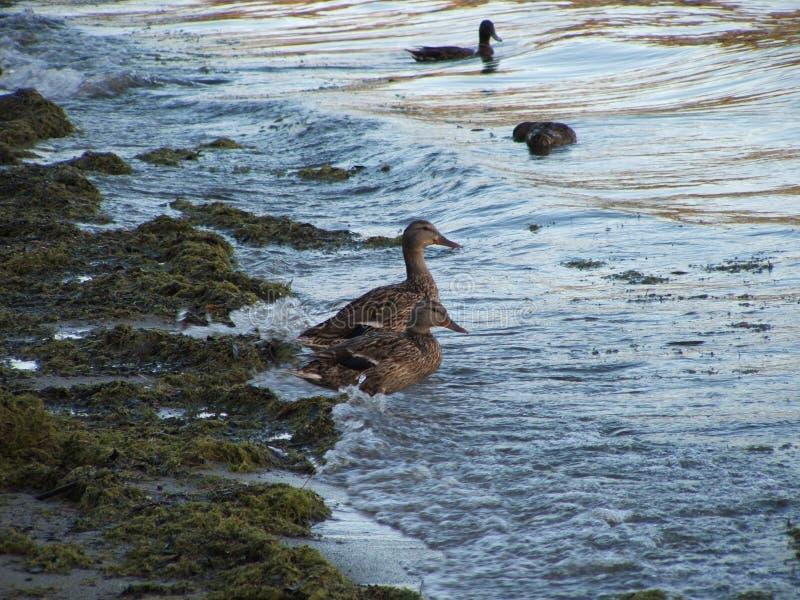 Día Ducky para una nadada imagenes de archivo