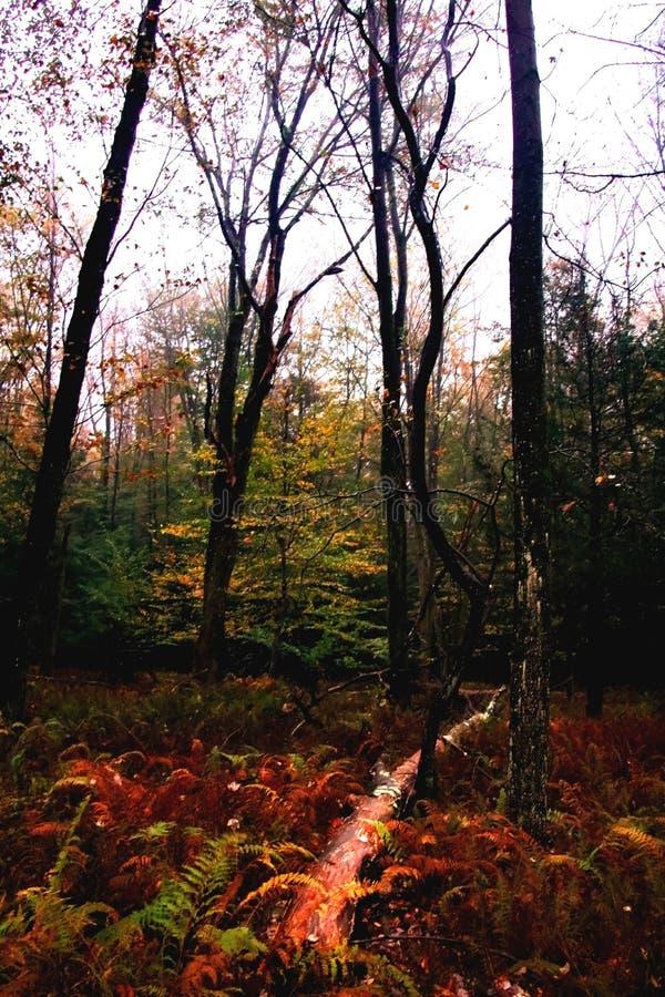 Día lluvioso colorido de la caída en el bosque, en el norte del estado NY fotografía de archivo