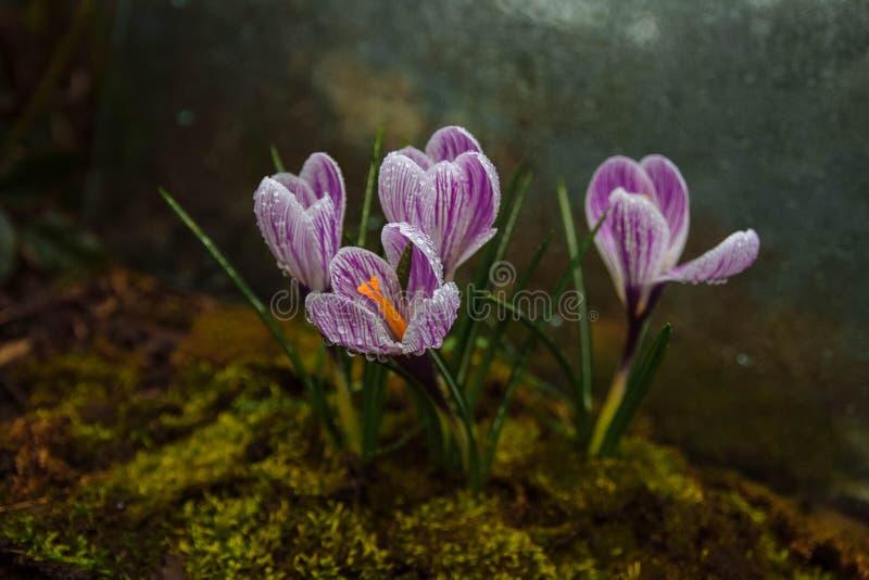 Día nublado de la primavera, rocío de la flor imágenes de archivo libres de regalías