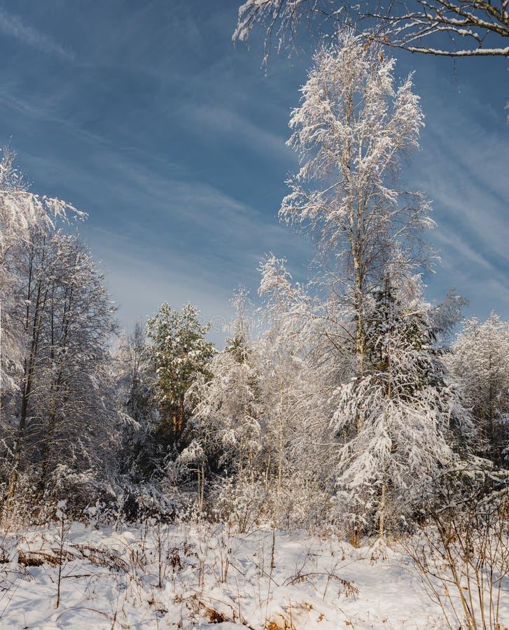 día soleado escarchado en la madera de la nieve de /the del bosque del invierno en día soleado imagen de archivo