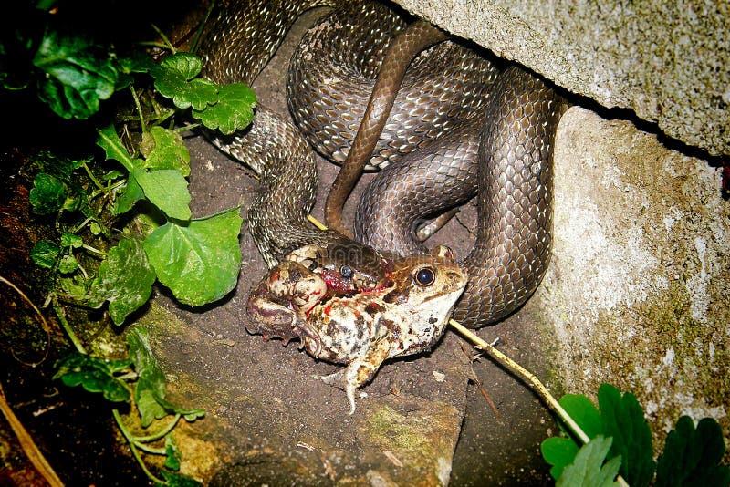 Dîner de serpent images libres de droits