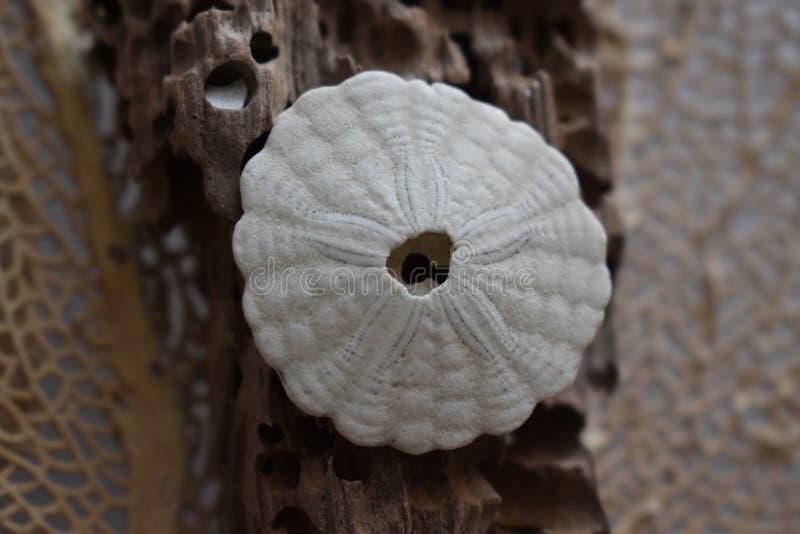 Dólar de areia na madeira lançada à costa foto de stock