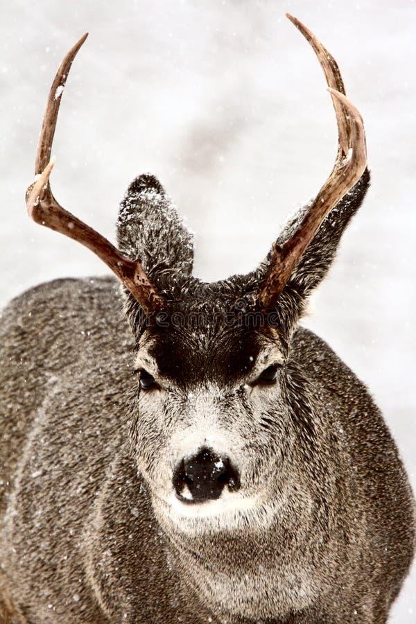 Dólar de los ciervos de mula en invierno fotografía de archivo