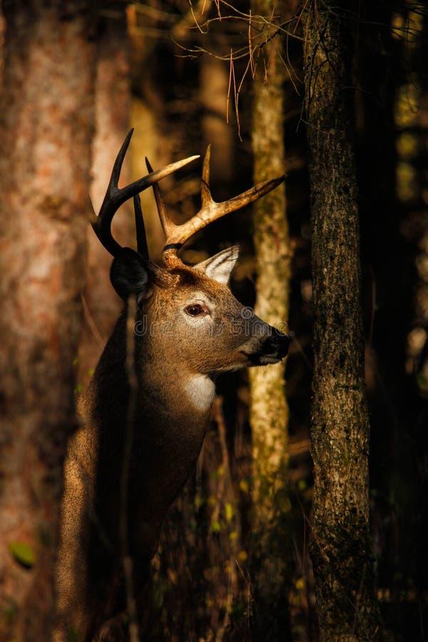 Dólar de los ciervos de Whitetail foto de archivo libre de regalías
