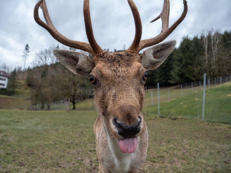 Dólar de los ciervos en barbecho en un recinto foto de archivo libre de regalías