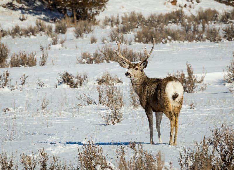Dólar de los ciervos mula fotografía de archivo libre de regalías