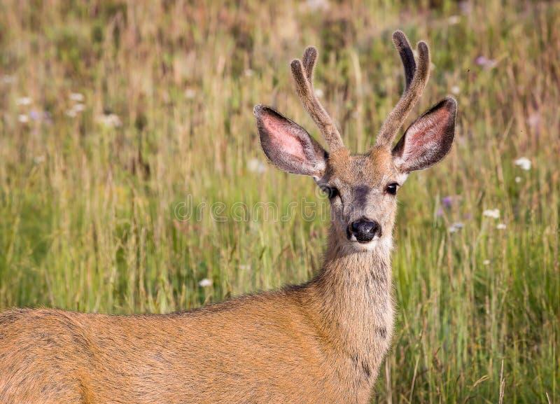 Dólar de los ciervos mula foto de archivo libre de regalías