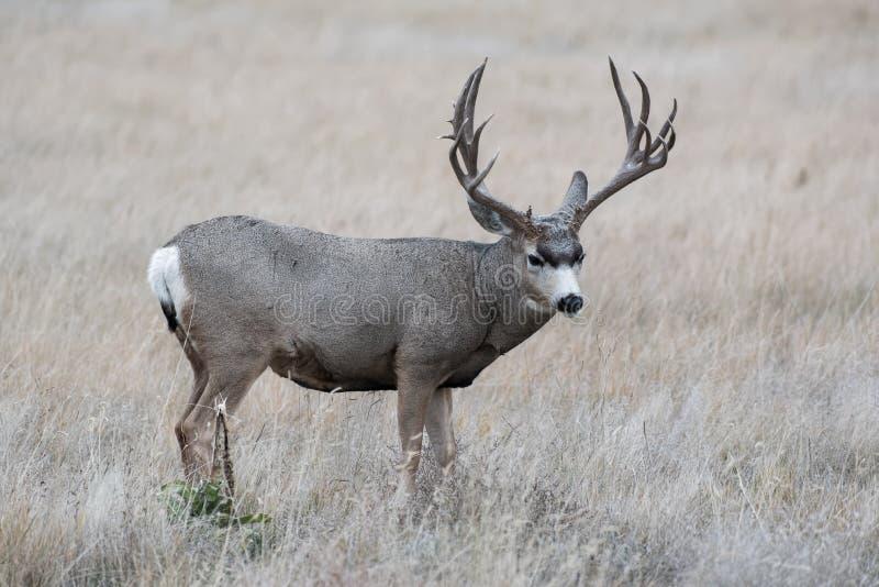 Dólar de los ciervos mula - ciervo salvaje en los altos llanos de Colorado imagen de archivo