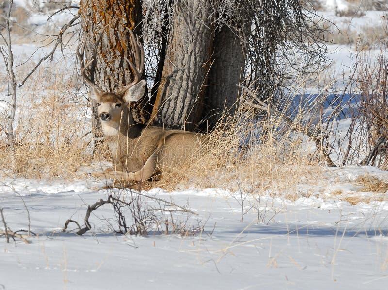 Dólar de los ciervos mula en el invierno imagen de archivo libre de regalías