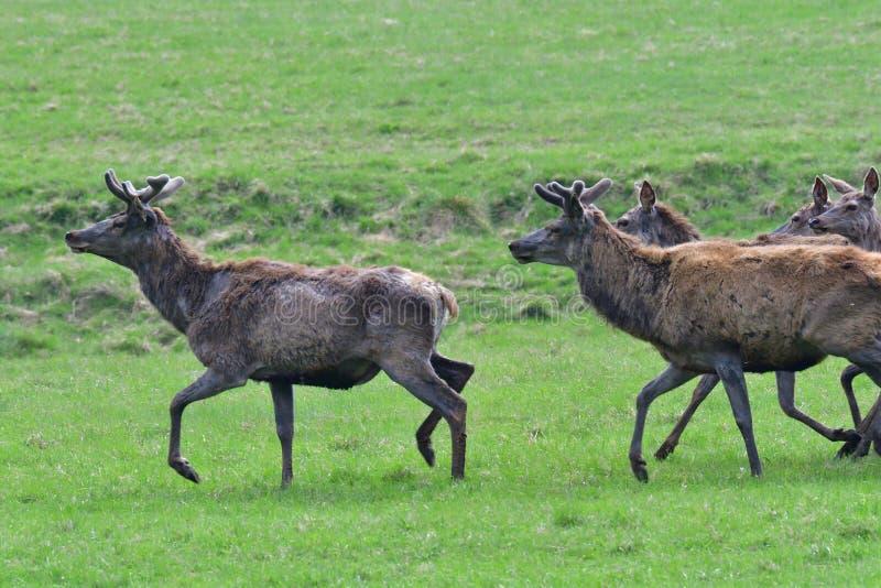 dólar de los ciervos que camina que pasta en el primer del prado fotografía de archivo