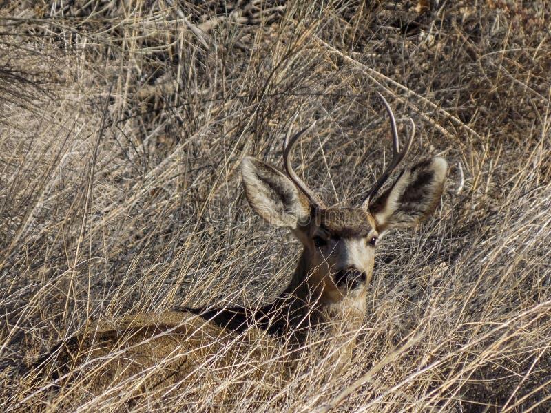 Dólar de reclinación de los ciervos mula fotografía de archivo libre de regalías