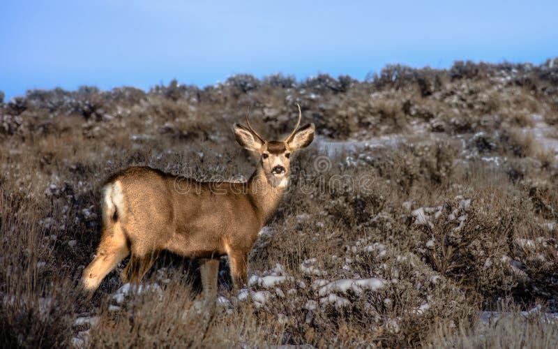 Dólar joven de los ciervos de mula imagenes de archivo