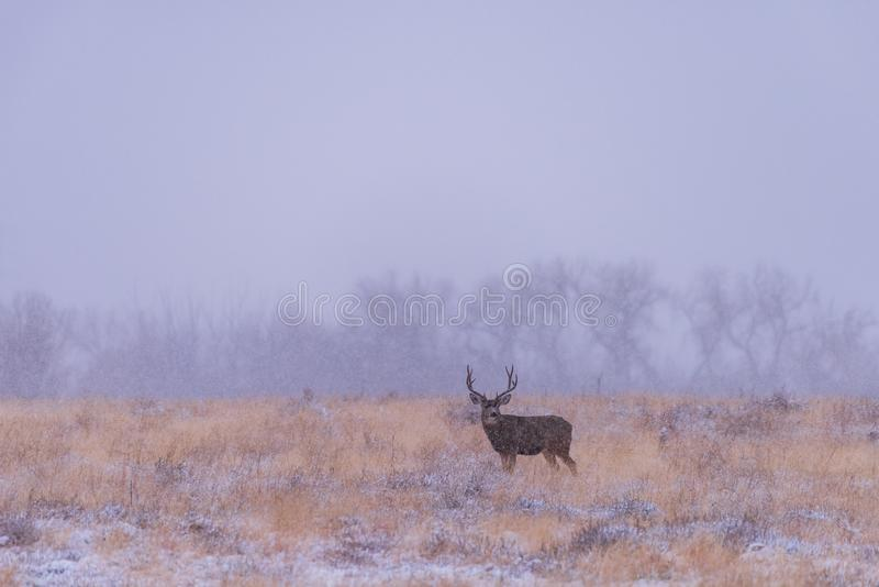Dólar solo de los ciervos mula en una tormenta de la nieve Ciervos salvajes en el alto Pla imágenes de archivo libres de regalías