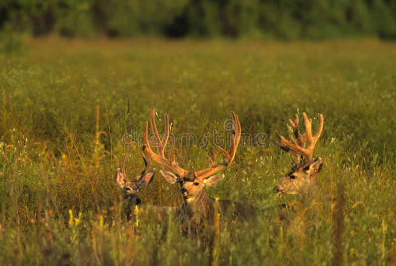 Dólares de los ciervos de mula en terciopelo fotos de archivo