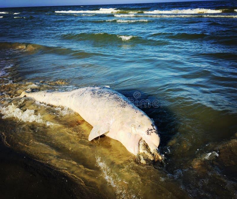 Död delfin royaltyfria bilder