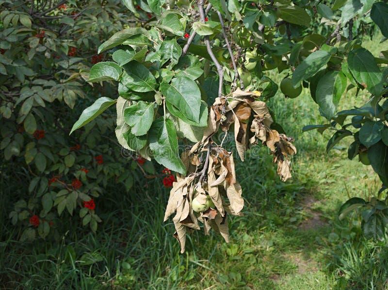 Död filial av äppleträdet arkivfoto